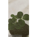Erdbeere - Fragaria x ananassa Elvira