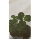 Erdbeere - Fragaria x ananassa Kimberly (s)