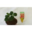 Erdbeere - Fragaria x ananassa Mieze Schindler