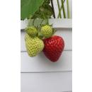 Erdbeere - Fragaria x ananassa Osterfee