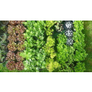 Sedum Mix 10er Pack