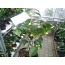"""Weiße Kamelie """"Camellia japonica"""" - 50/60"""