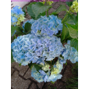 Hortensie im Topf blau