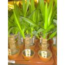 Yucca-Palme (Yucca elephantipes) ca. 40/50cm