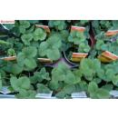 Erdbeere - Fragaria x ananassa Ostara