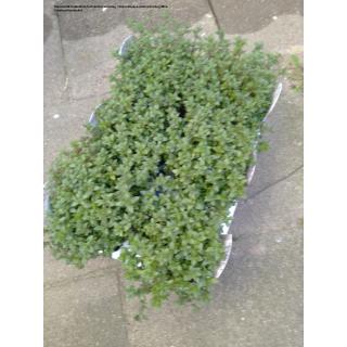 Thymian (Thymus vulgaris)