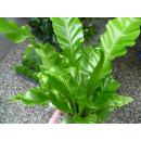 Nestfarn, Streifenfarn (Asplenium nidus)