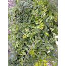 Lonicera nitida (Heckenmyrte) Maigrün 15/20