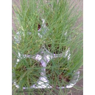 Allium schoenoprasum - Schnittlauch  - 3er Set
