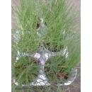 Allium schoenoprasum (Schnittlauch)