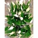 Einblatt (Spathiphyllum Bellini)