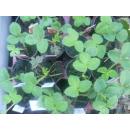 Erdbeere - Fragaria x ananassa Florence