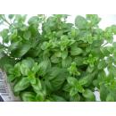 Origanum vulgare (Oregano - Dost - Wilder Majoran)