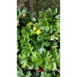 Waldsteinie / Dreiblatt Golderdbeere (Waldsteinia ternata)
