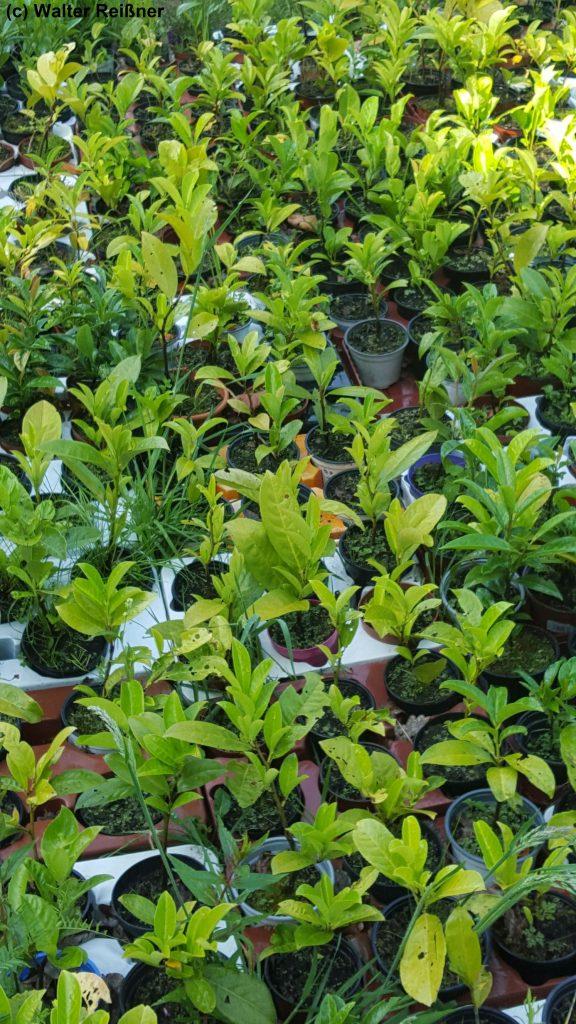 Jungpflanzen vom Kirschlorbeer