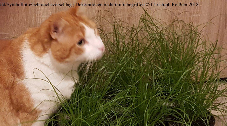 Katzengras für den Stubentiger