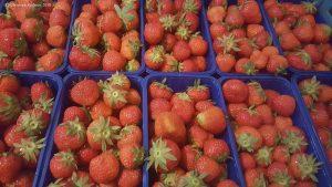 Von unseren Feld - Frisch gepflückte Erdbeeren in Schalen