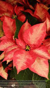 Der Weihnachtsstern (Poinsettia)