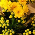 Flammendes Käthchen (Kalanchoe blossfeldiana ) gelb gefüllt