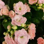 Flammendes Käthchen (Kalanchoe blossfeldiana ) rosa gefüllt
