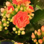 Flammendes Käthchen (Kalanchoe blossfeldiana) orange gefüllt