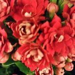 Flammendes Käthchen (Kalanchoe blossfeldiana) rot gefüllt