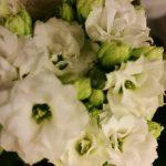 Flammendes Käthchen (Kalanchoe blossfeldiana ) weiß gefüllt