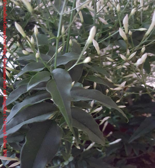 Jasminum polyanthum – Zimmerpflanze des Monats Februar 2019 – Ratgeber